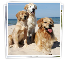 Goldens at the Beach