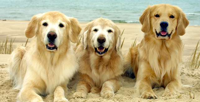 Welcome to Golden Retriever Club of Illinois